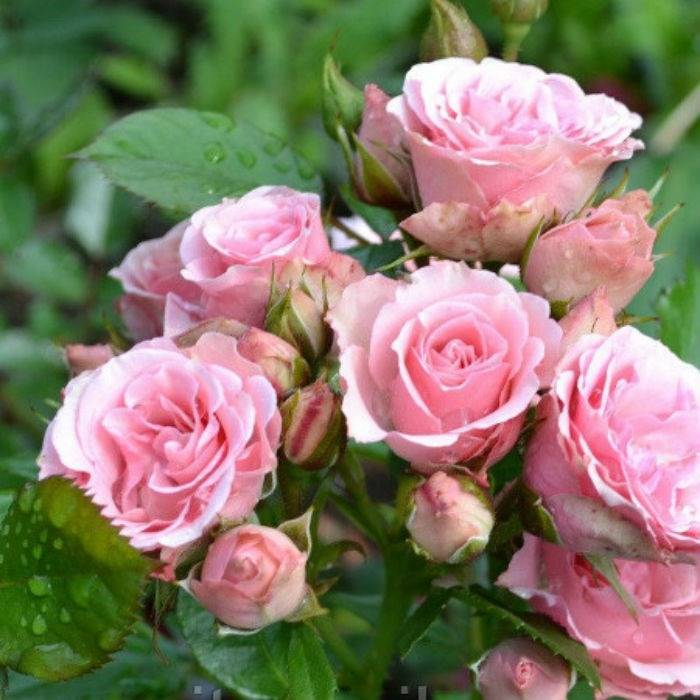 Роза лавиния (lawinia) — описание популярного цветка