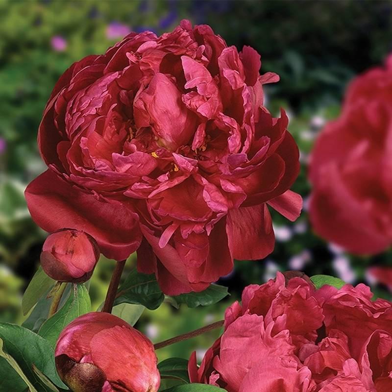 Пион сара бернар (paeonia sarah bernhardt) – как вырастить