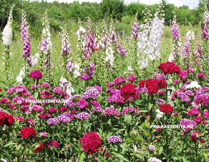 Наперстянка: как посадить и вырастить лечебное растение в открытом грунте