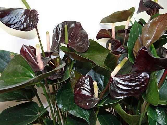 Антуриум черный — описание и сорта