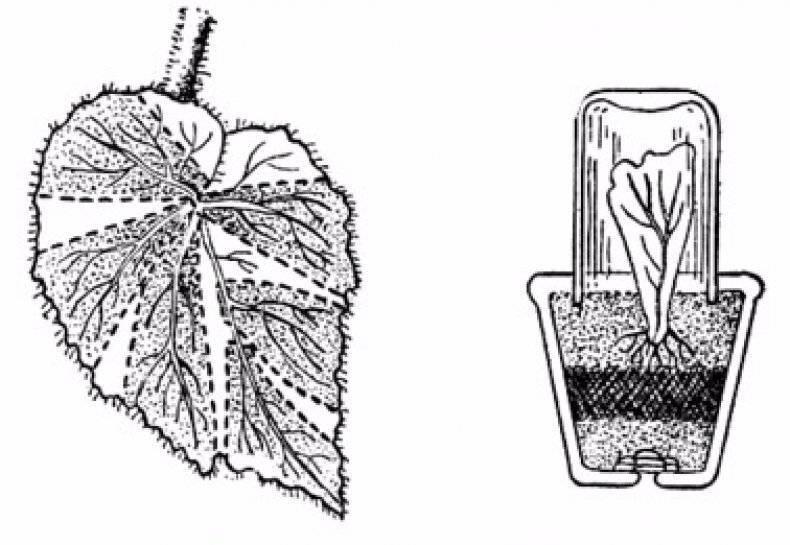 Выращивание спатифиллума в домашних условиях: как правильно посадить цветок «женское счастье»?