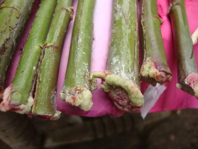 Применяем эффективный метод буррито для укоренения черенков роз
