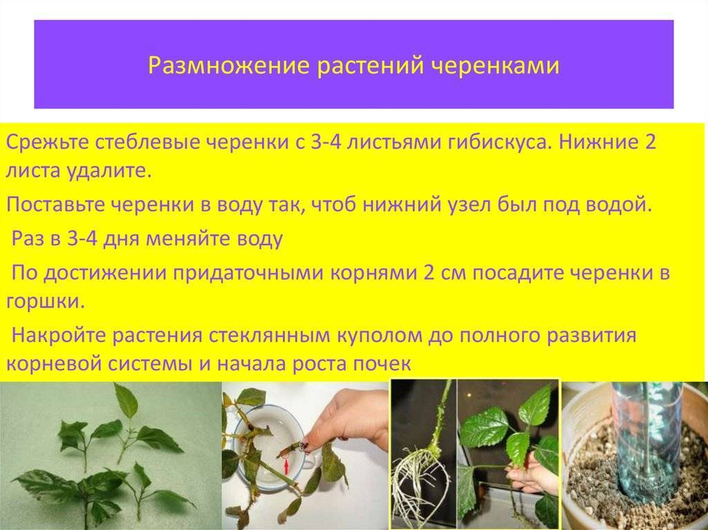 Спатифиллум: уход и размножение в домашних условиях