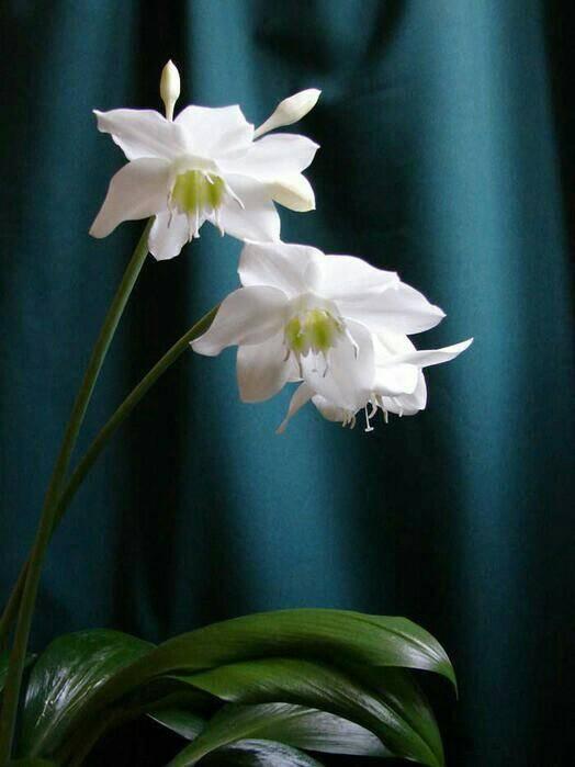 Амазонская лилия — что за комнатный цветок