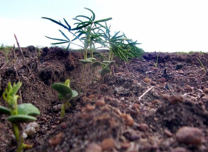 Люпин как сидерат (16 фото): как сеять однолетний узколистный, белый и другие виды люпина?