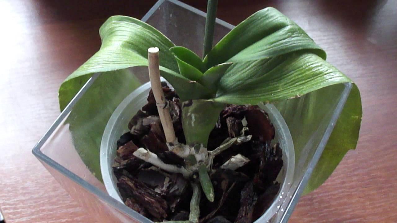 Листья орхидеи потеряли тургор и морщинятся: что делать для восстановления