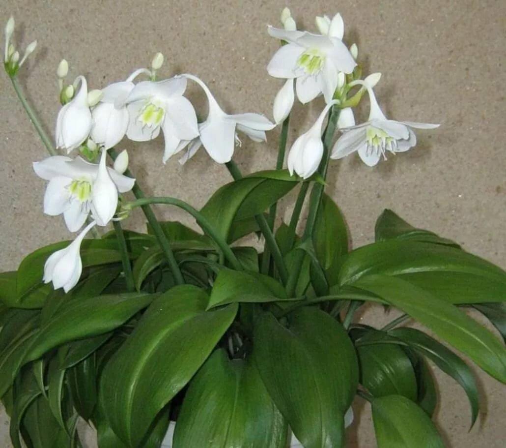 Комнатная лилия – уход в домашних условиях при выращивании в горшке