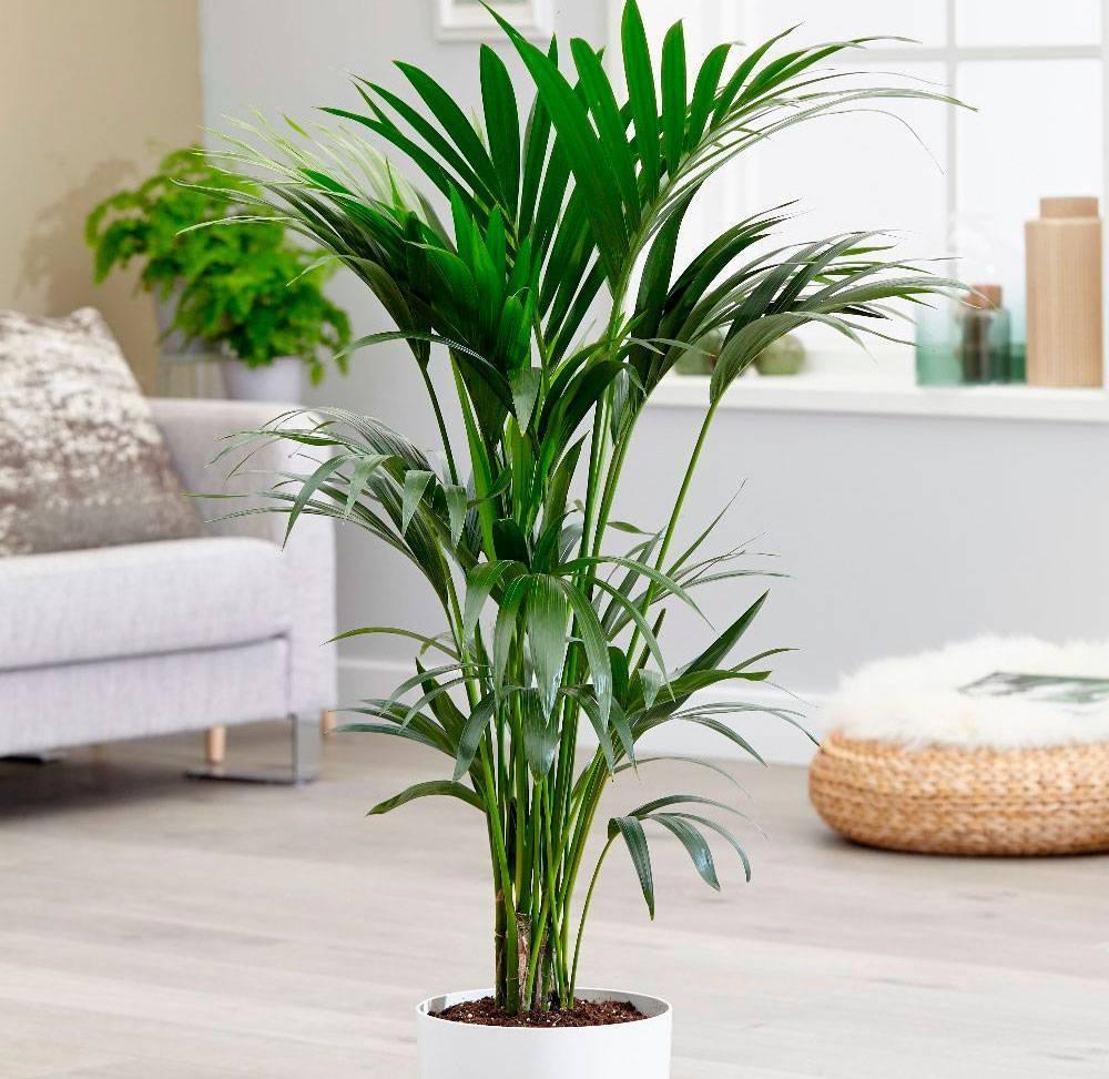 Пальма ховея — уход в домашних условиях