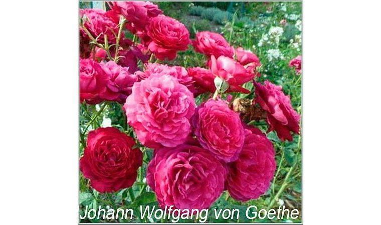 Описание чайно-гибридной розы иоганн вольфганг фон гете: выращивание и уход