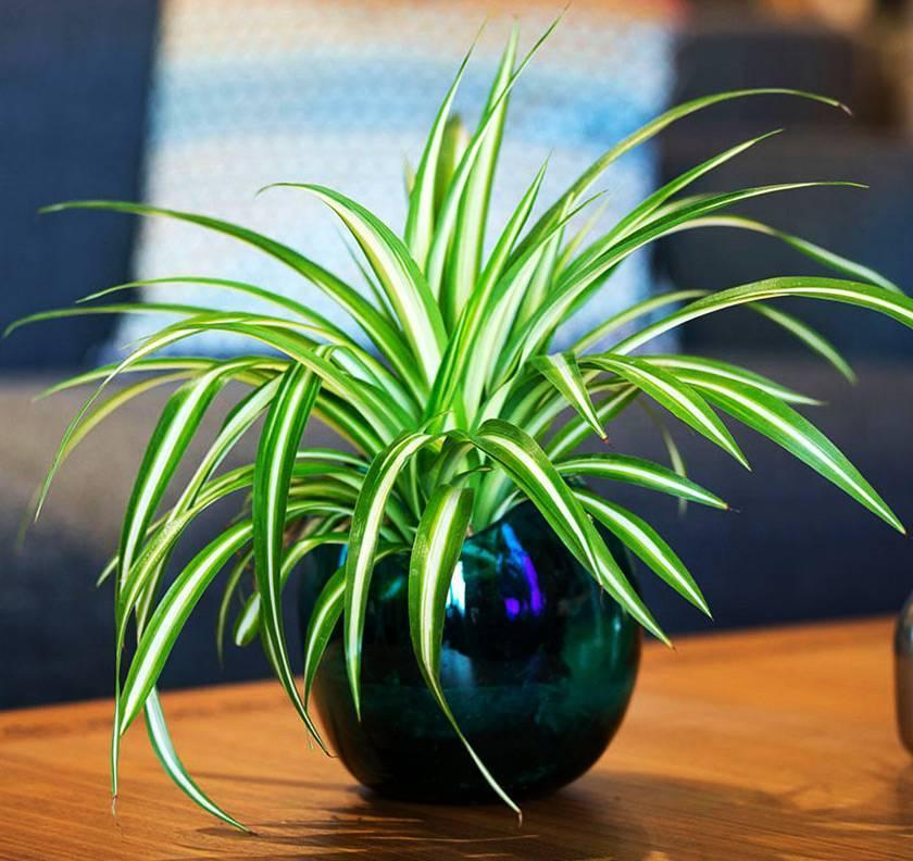 Хлорофитум уход в домашних условиях. как пересадить и размножить