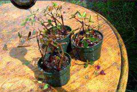Советы о выращивание садовой азалии на открытом грунте