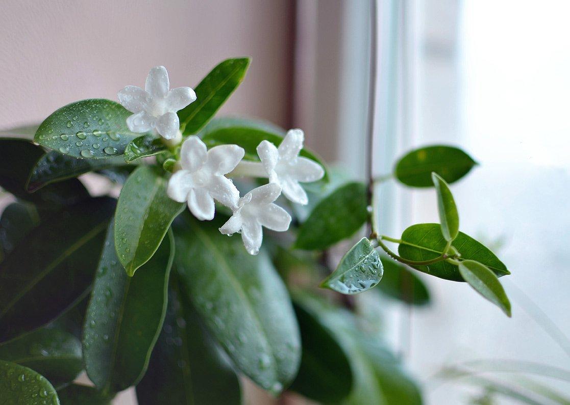 Цветы комнатные стефанотис: фото и уход в домашних условиях, размножение и пересадка