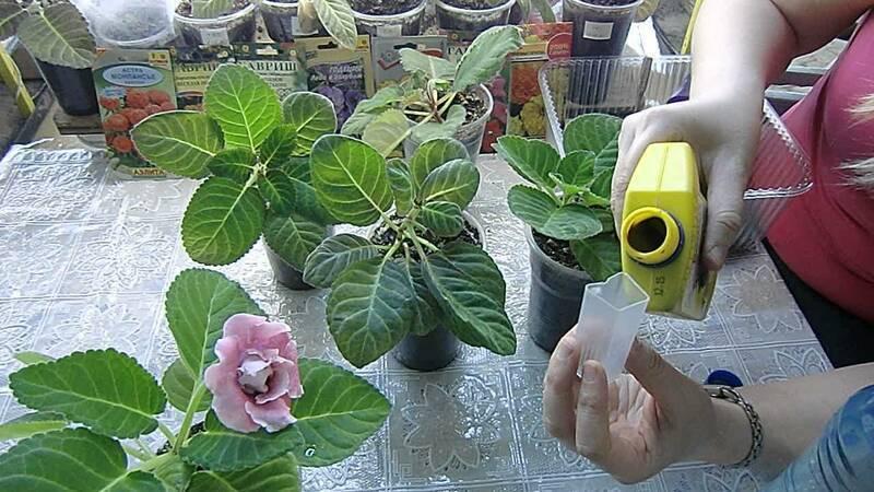 Как подготовить и как ухаживать за глоксинией зимой в домашних условиях