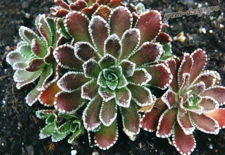 Выращивание камнеломки из семян в домашних условиях: посадка на рассаду сорта «пурпурная мантия». посев и уход весной. как правильно вырастить ее из семян?