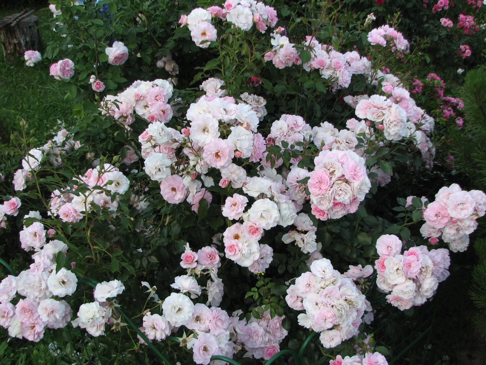 Растение из класса флорибунда — роза боника 82