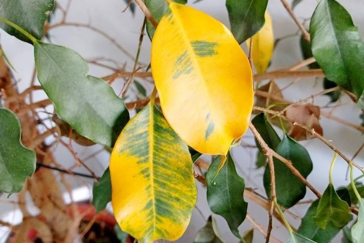 Желтеют и опадают листья у клеродендрума: почему это происходит и что делать для спасения цветка?