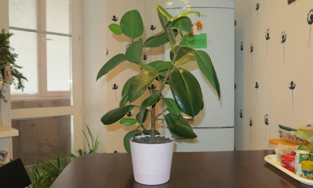 Фикус «пумила уайт санни» (17 фото): уход за фикусом в домашних условиях, характеристика цветка