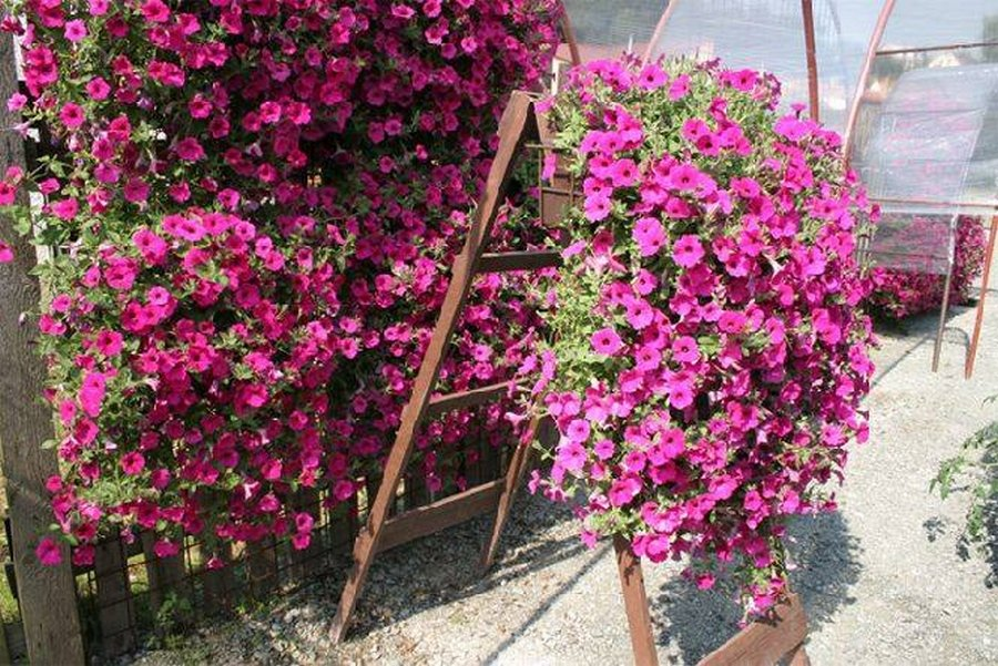 Вегетативная петуния: что это такое, сорта, посадка и уход