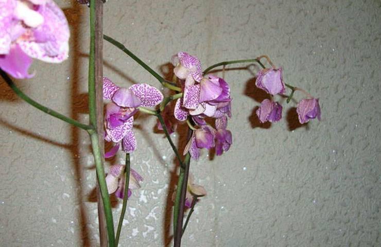 Интересно о том, почему засыхают бутоны у орхидеи