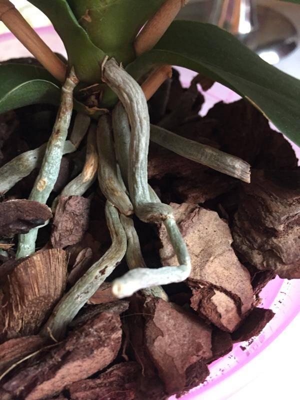 Корни орхидеи (18 фото): какие они должны быть и можно ли их обрезать? как использовать «корневин» для корневой системы? что делать, если на корнях появилась плесень?