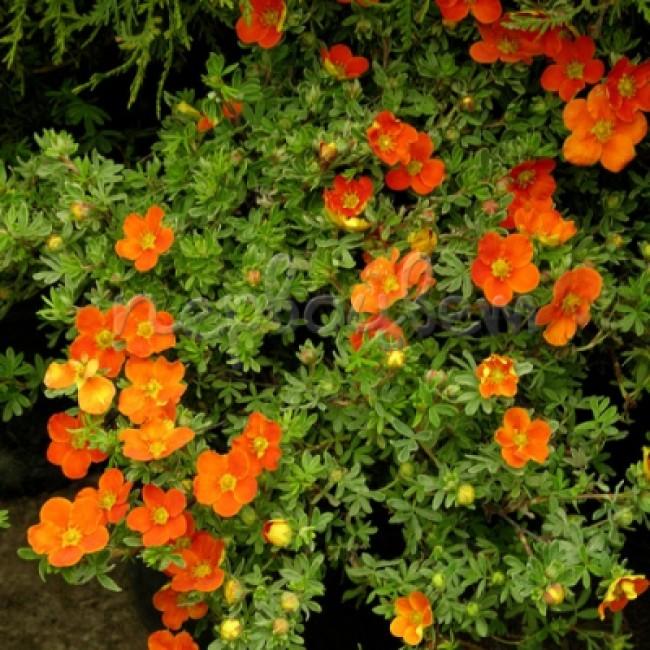 Лапчатка ред айс: описание сорта, посадка и уход, нюансы выращивания