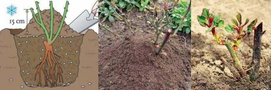 Посадка роз осенью: когда и как их садить