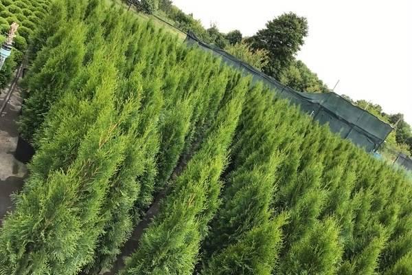 Как посадить и вырастить тую в сибири: сибирские разновидности туи