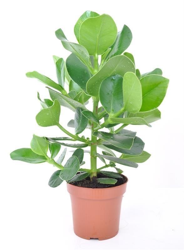 Чудесное растение клузия розовая