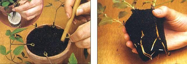 Размножение клематисов черенками осенью - общая информация - 2020