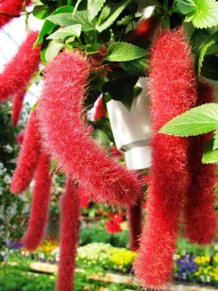 Виды комнатного растения лисохвоста: луговой, акалифа уилкса, шершавая и другие