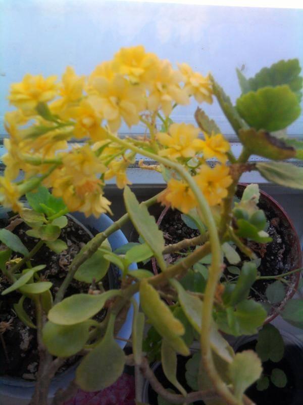 Чем болеют листья каланхоэ и как лечить? что делать, если они желтеют?