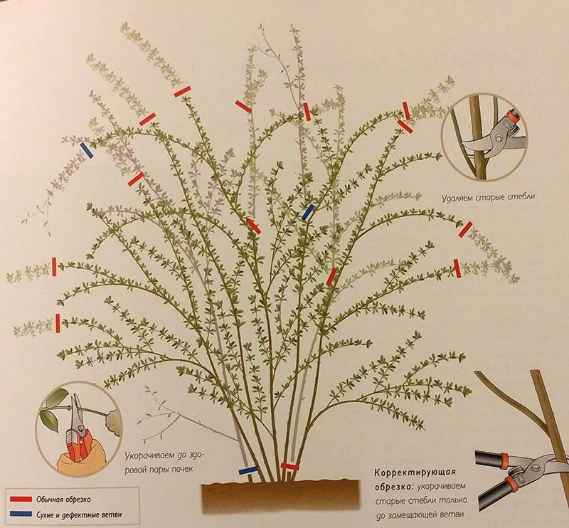 Агротехника сорта спиреи билларда в открытом грунте: обрезка, размножение