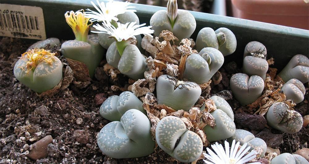 Литопсы: уход и содержание в домашних условиях. литопсы - «живые камушки»: описание, особенности выращивания
