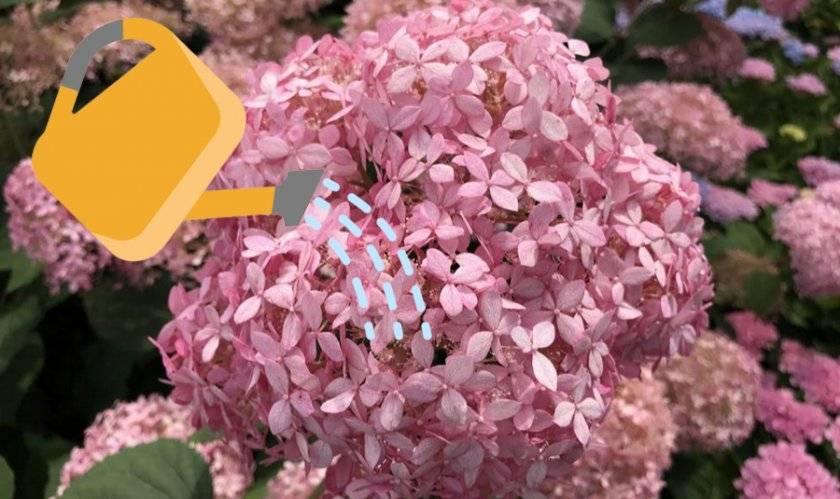 Сорт гортензии пинк аннабель: применение и выращивание