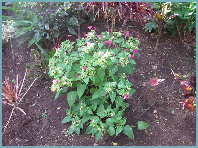 Мирабилис - посадка и уход в открытом грунте, секреты выращивания. мирабилис: о выращивании из семян, фото ночной красавицы