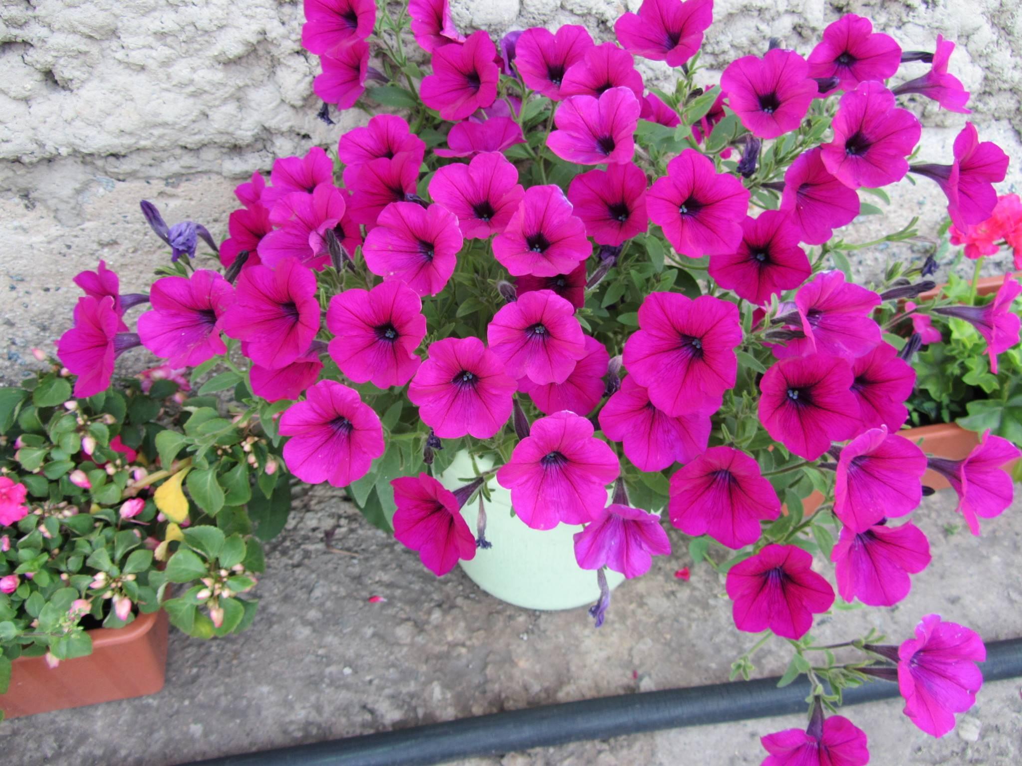 Петунии ампельная и каскадная: отличия видов, фото растений, а также чем уникален каждый цветок, как ухаживать за ними, каким образом сделать правильный выбор?