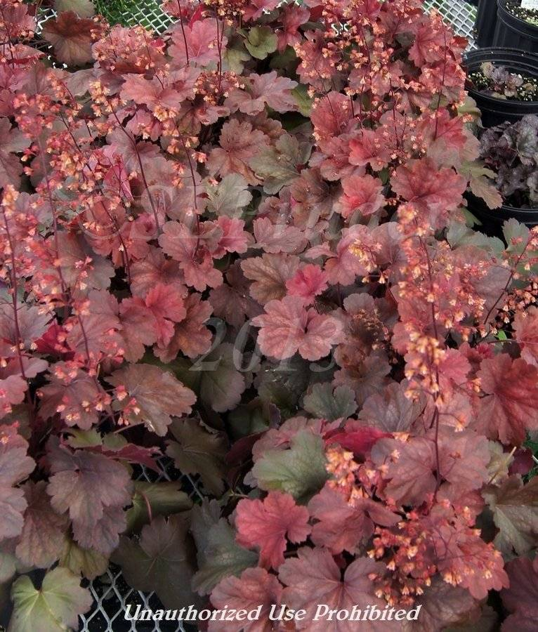 Подробное описание цветков гейхера: какие сорта существуют, их особенности