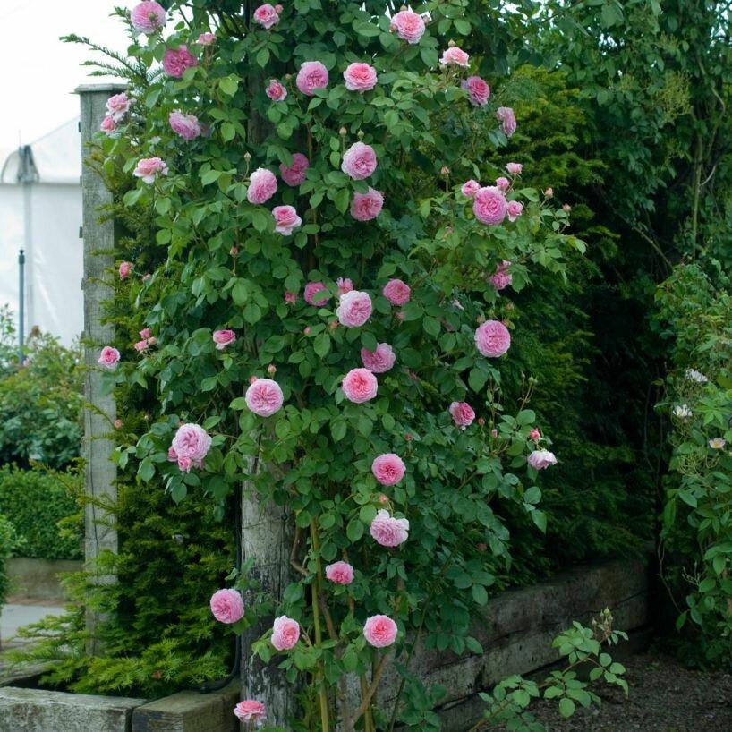 Описание раннецветущей плетистой розы сорта голден шауэрс: особенности растения