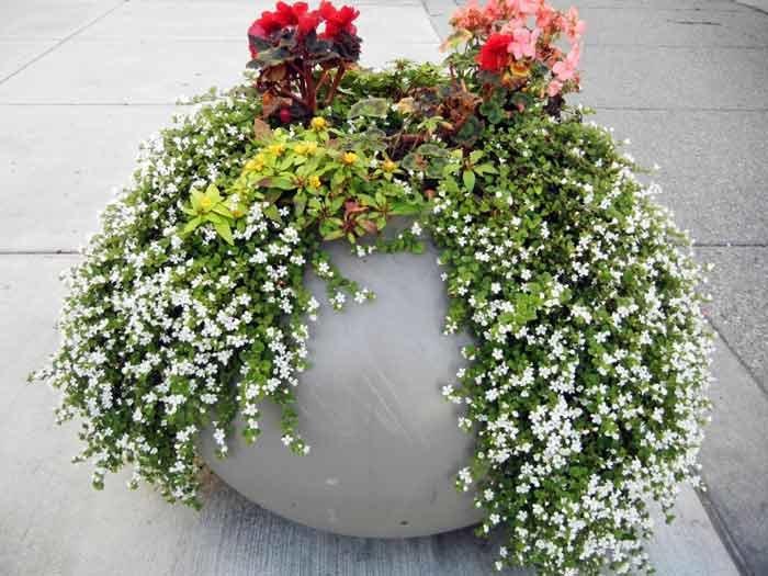 Бакопа ампельная — выращивание и уход в домашних условиях
