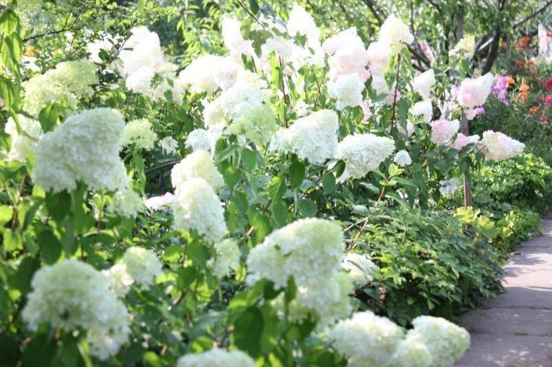 Гортензия белый (полярный) медведь, любимица садоводов