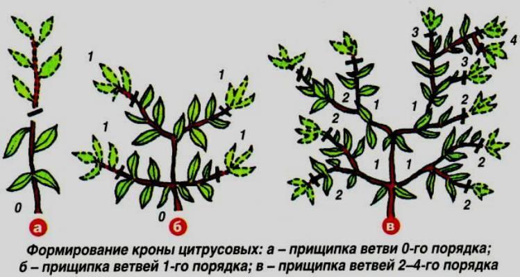 Отсечь лишнее во имя пышного цветения или советы, как правильно обрезать бегонию