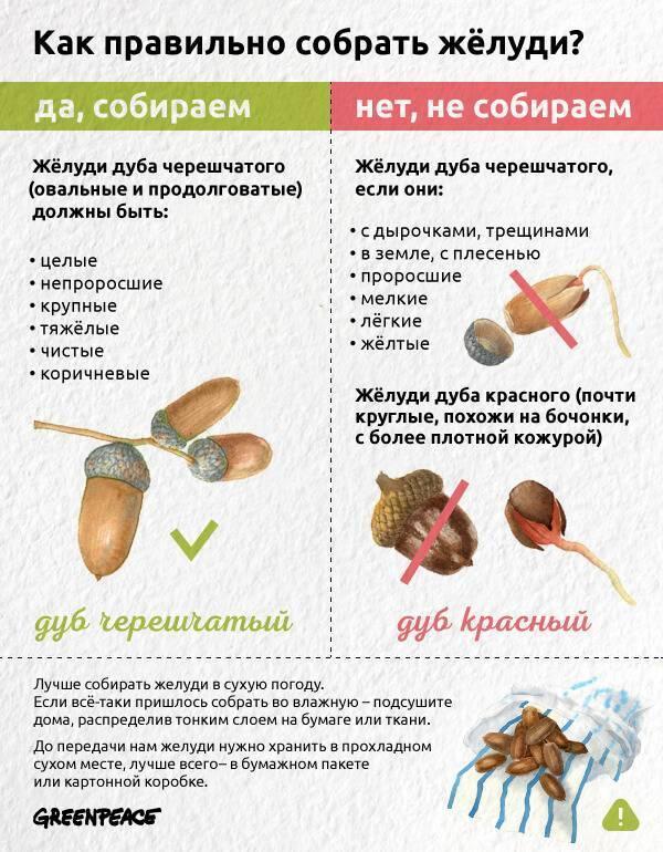 Как вырастить дуб: пошаговая инструкция