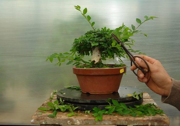Араукария: уход в домашних условиях, размножение черенками и пересадка экзотической комнатной ели