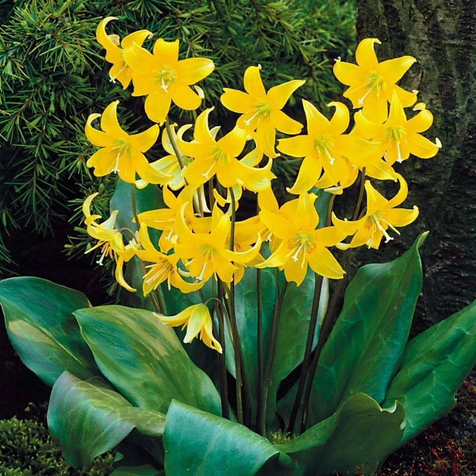 Цветок кандык – посадка и уход: пересадка, почва, расположение, виды кандыка, целебные свойства