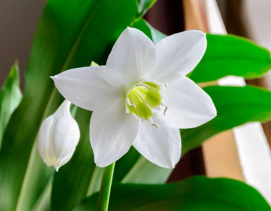 Комнатный цветок эухарис: уход и размножение в домашних условиях
