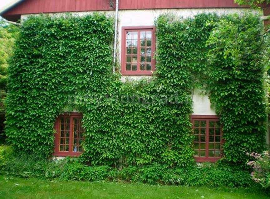 Выращивание каланхоэ в открытом грунте, на улице, в саду на даче