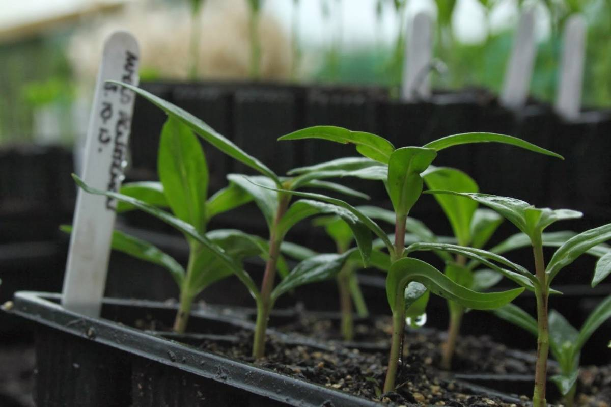 Катарантус: описание и советы по выращиванию