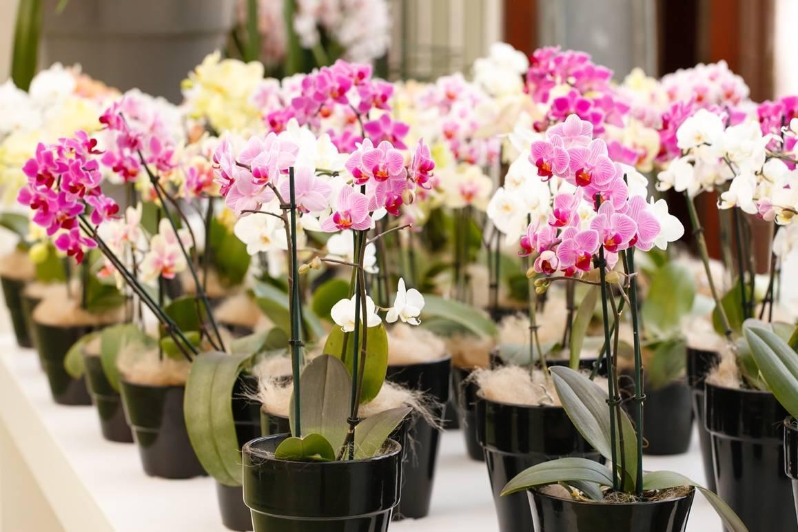 Примеры что можно сделать с воздушными корнями у орхидеи, варианты если их много