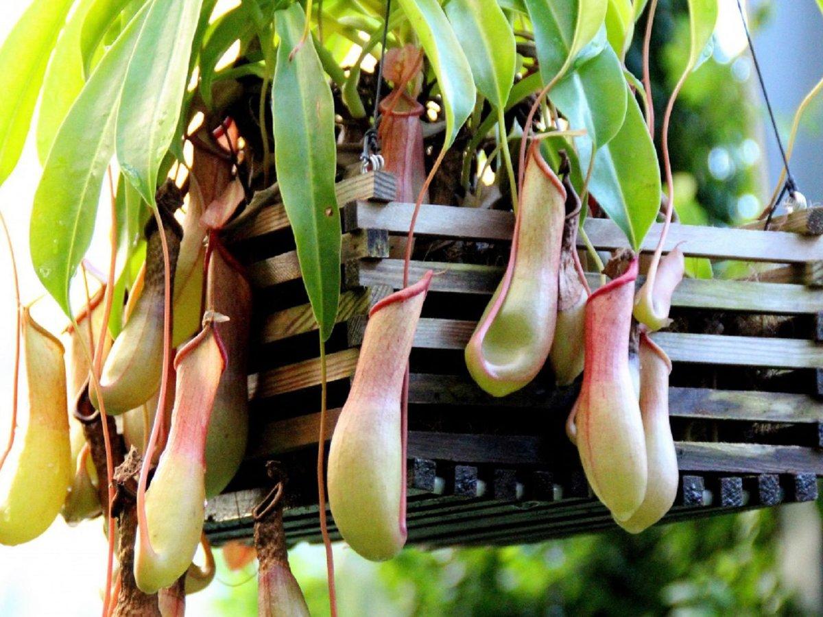 Непентес (49 фото): описание и тип питания растения кувшиночник, уход в домашних условиях, виды хищного цветка аттенборо и раджа