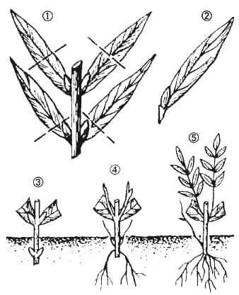 Как размножить флоксы черенками летом и осенью